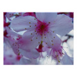 Japanese Cherry Blossom Posters