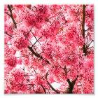 Japanese Cherry Blossom Tree (2013) Photo Print