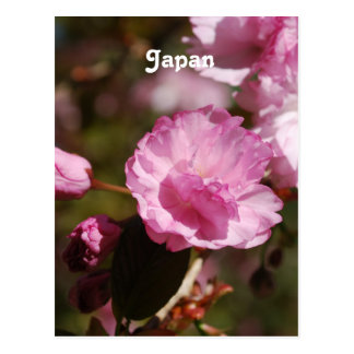 Japanese Cherry Blossoms Post Cards