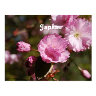 Japanese Cherry Blossoms Post Card