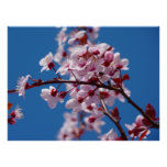 Japanese Cherry Tree Blossom Poster