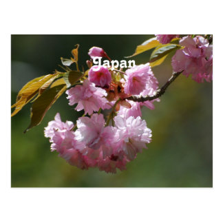 Japanese Cherry Tree Postcard