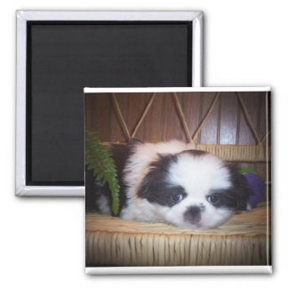Japanese Chin puppy Square Magnet