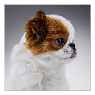 Japanese Chin Puppy Poster