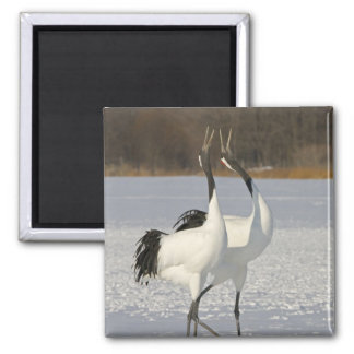 Japanese Cranes dancing on snow Magnet