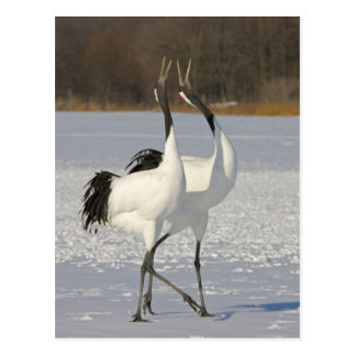 Japanese Cranes dancing on snow Postcard