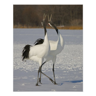 Japanese Cranes dancing on snow Poster