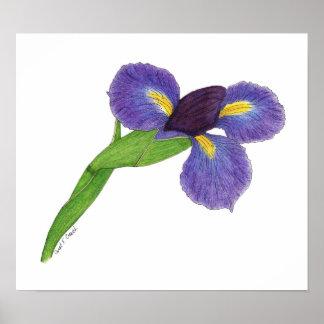 Japanese Iris Blossom Posters
