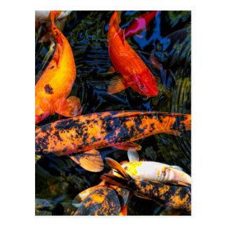 Japanese Koi - Cyprinus carpio haematopterus Postcard