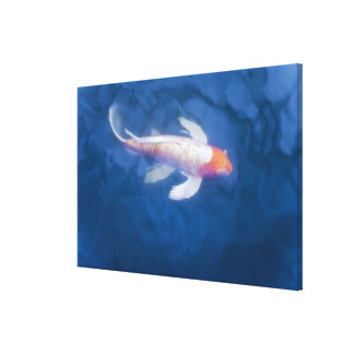 Japanese koi fish in pond, high angle view canvas print