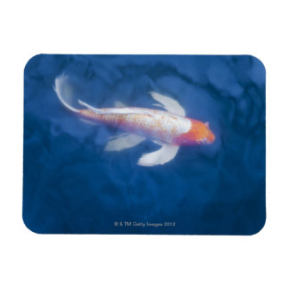 Japanese koi fish in pond, high angle view magnet