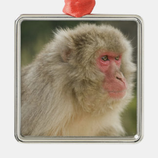 Japanese Macaque Macaca fuscata), also known Christmas Ornament