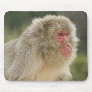 Japanese Macaque Macaca fuscata), also known Mouse Mat