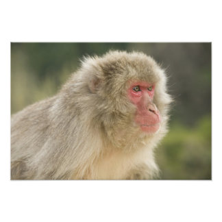 Japanese Macaque Macaca fuscata), also known Photo Print