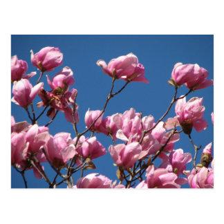 Japanese Magnolia Blooms Postcard
