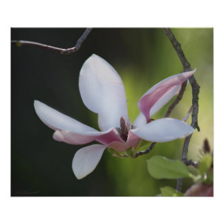Japanese Magnolia Print -24x20 -smaller sizes also