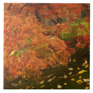 Japanese maple in fall color 2 tile
