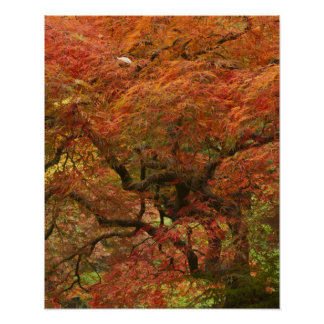 Japanese maple in fall color 4 poster