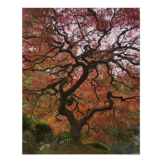 Japanese maple in fall color 5 poster