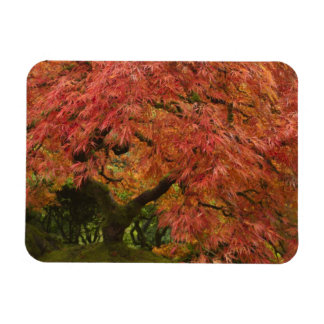 Japanese maple in fall color magnet