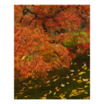Japanese maple in fall colour 2 poster