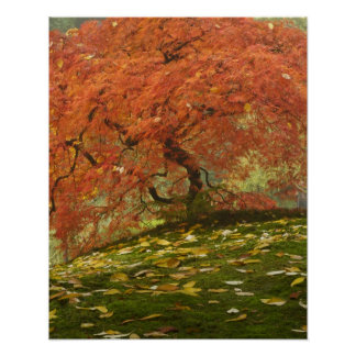 Japanese maple in fall colour 3 poster