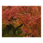 Japanese maple in fall colour poster