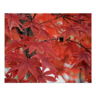 Japanese Maple Tree Fall Foliage Poster