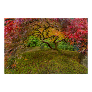 Japanese maple tree in autumn color poster