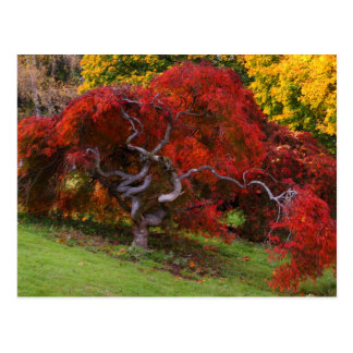 Japanese Maple Tree in Autumn Post Card
