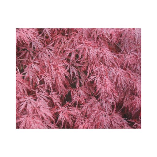 Japanese Maple Tree Stretched Wrapped Canvas Gallery Wrapped Canvas