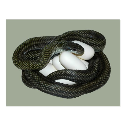 Japanese Rat Snake, beautifull and caring mother! Postcard