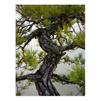Japanese Red Pine Bonsai Tree Postcard