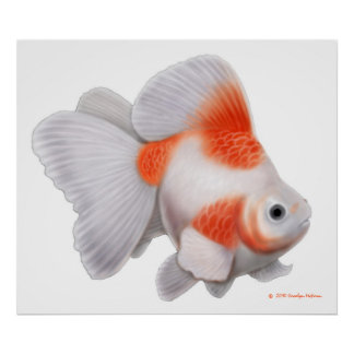 Japanese Ryukin Fantail Goldfish Print