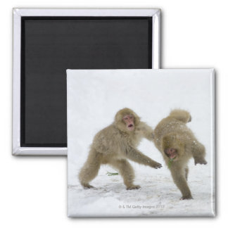 Japanese Snow Monkey cubs playing on snow Magnet
