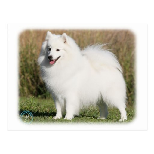 Japanese Spitz 9Y576D-261 Post Cards