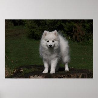 Japanese Spitz/American Eskimo puppy Poster