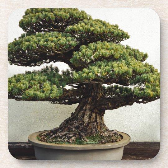 Japanese White Pine Bonsai Tree Coaster Zazzle Co Uk
