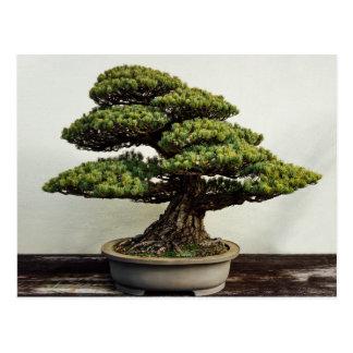 Japanese White Pine Bonsai Tree Postcard