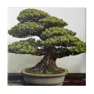 Japanese White Pine Bonsai Tree Small Square Tile