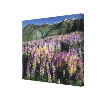 JARBIDGE WILDERNESS, NEVADA. USA. Spur lupine Stretched Canvas Print