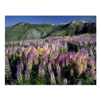 JARBIDGE WILDERNESS, NEVADA. USA. Spur lupine Postcard
