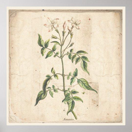 Jasmine Antique Botanical Print Poster