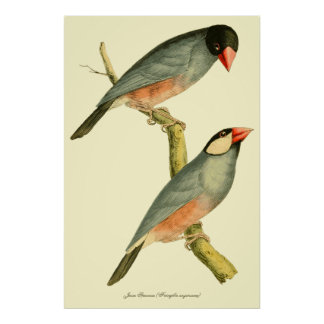 Java Sparrow, Posters