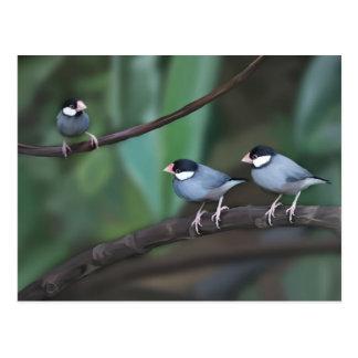Java Sparrows Postcards