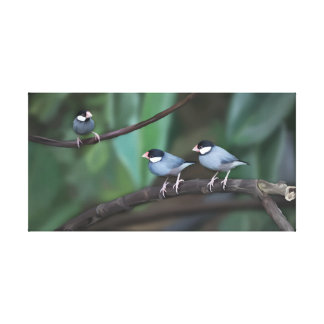 Java Sparrows Stretched Canvas Prints