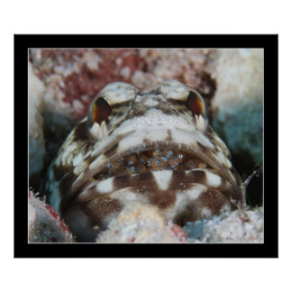 Jawfish with Eggs Poster