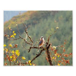 Jay bird on nature photo