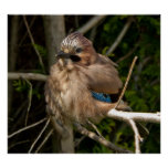 Jay, British bird Poster