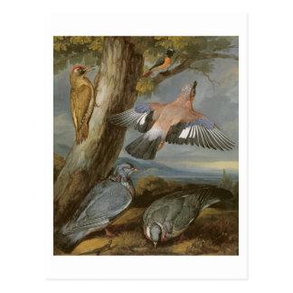 Jay, Green Woodpecker, Pigeons and Redstart, c.165 Postcard
